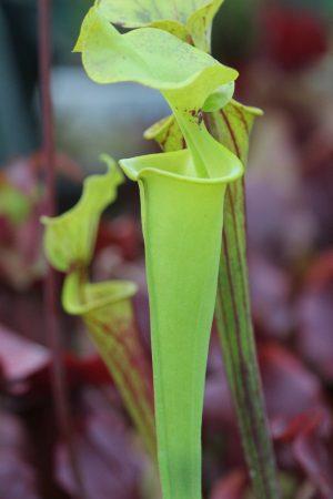 사라세니아 플라바 (S.flava)