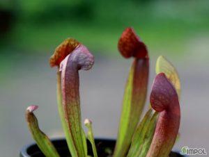 사라세니아 루브라 교배종 (Sarracenia rubra ssp