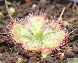 끈끈이주걱(드로세라) 쎄실리폴리아 ( D. sessilifolia )