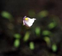 땅귀개 모난토스 (U.monanthos)