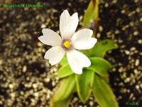 벌레잡이 제비꽃 이오난타 (P.ionantha)