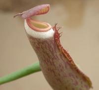 네펜데스(벌레잡이통풀) 알보마지나타 (N.albonaginata)