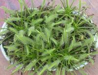 카펜시스 알바 종자 (D.capensis 'Alba' Seeds) [25s]