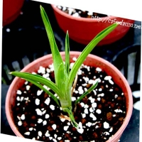 브로키니아 레둑타 (Brocchinia reducta)