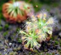 끈끈이주걱(드로세라) 옥시덴탈리스 (D.occidentalis)