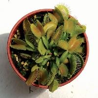 파리지옥 무더기 (Dionaea Special)