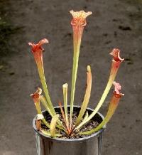 사라세니아 류코필라 Hybrid (S.leucophylla X ? )