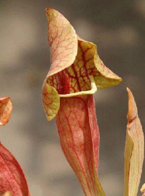사라세니아 베노사 (S.purpurea var. venosa)