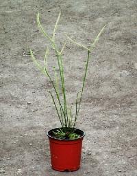 끈끈이주걱(드로세라) 비나타 디쵸토마 (D.binata var. dichotoma)