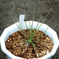 드로소필룸 (Drosophyllum lusitanicum)