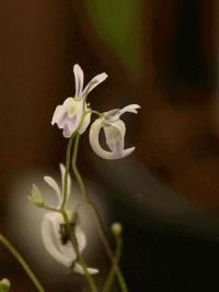 땅귀개 센더소니 (U.sandersonii)