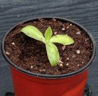 토종 벌레잡이제비꽃 (P.vulgaris var.macroceras)