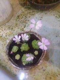 벌레잡이제비꽃 에셀리아나 (P.esseriana)